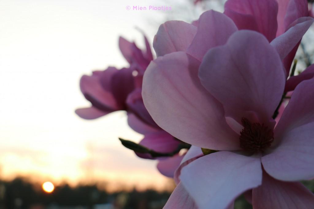 magnolia zonsondergang
